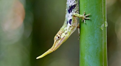 Pinocchio Lizzard Mindo Cloud Forest